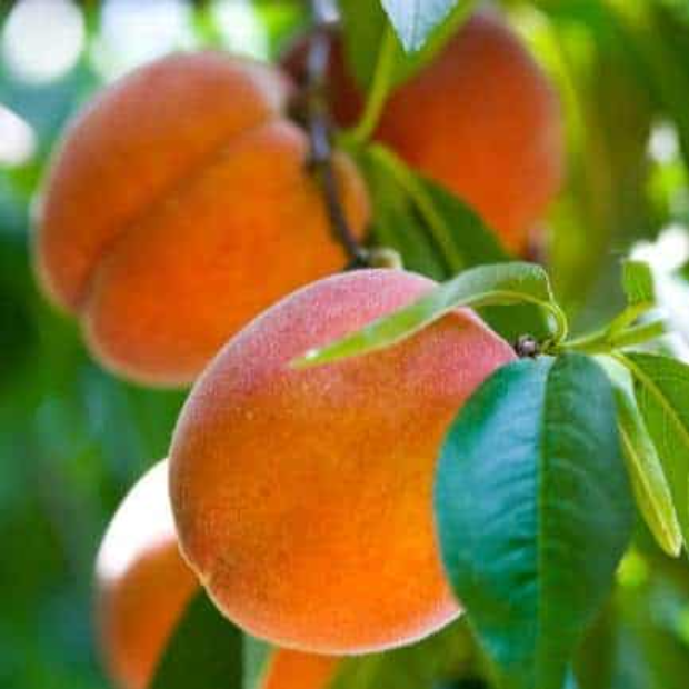 Peaches in 25 pound cartons or ½ bushel