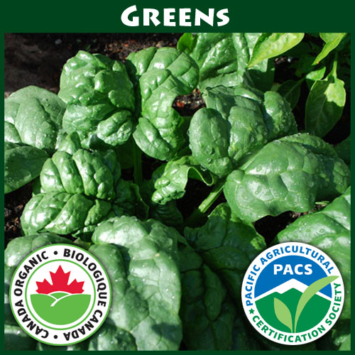 Spinach Bloomsdale Savoy