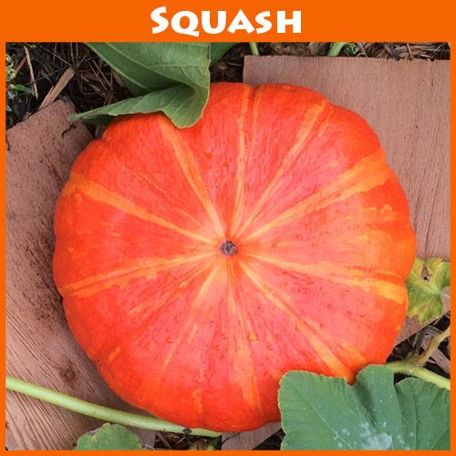 Pumpkin Rouge V'if D'Etampes